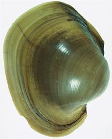 potamilus capax