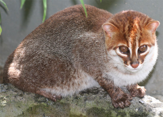 prionailurus felis planiceps