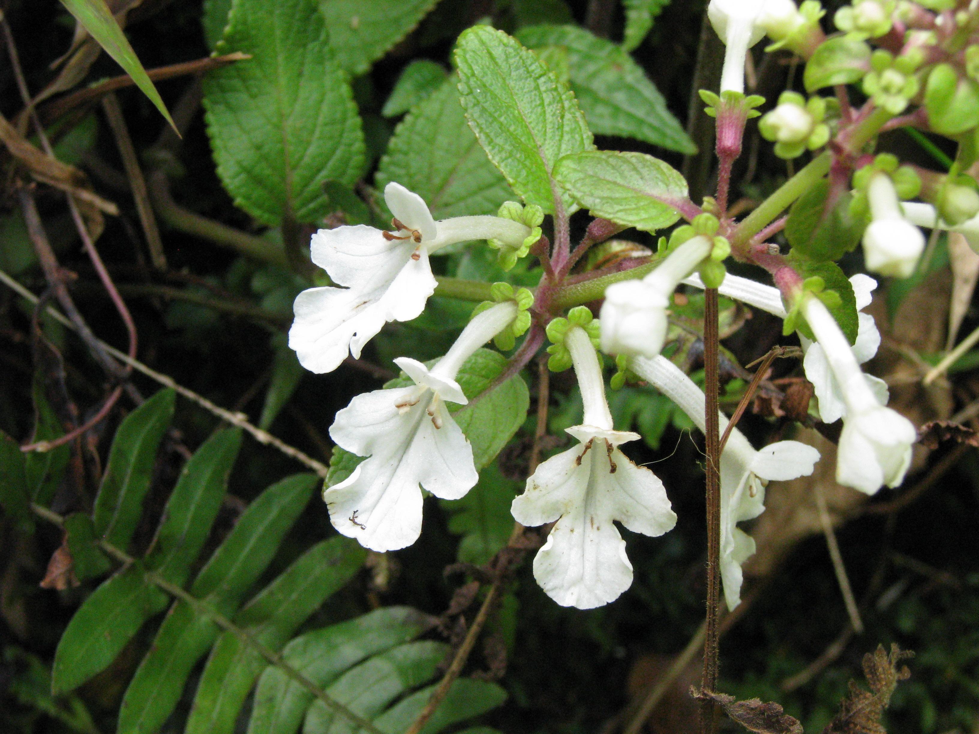 psychotria grandiflora