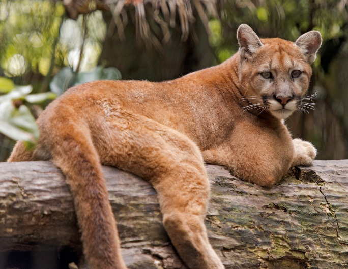 puma felis concolor all subsp except coryi