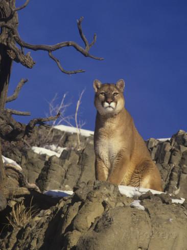 puma felis concolor couguar