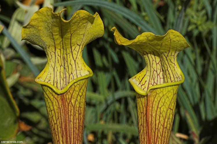 sarracenia rubra ssp alabamensis