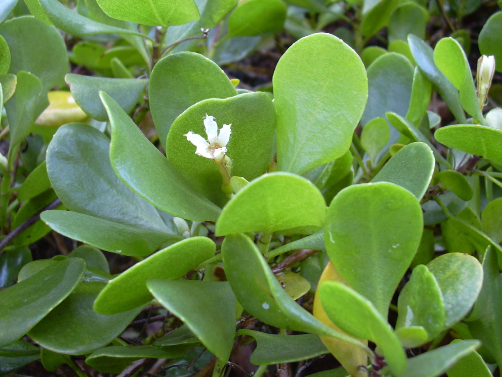 scaevola coriacea
