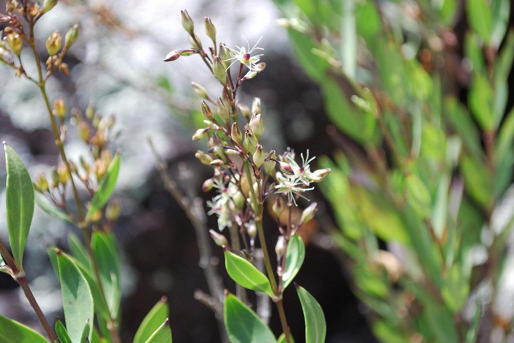 schiedea salicaria