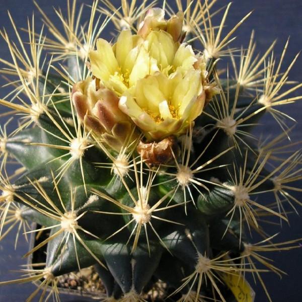 sclerocactus brevihamatus ssp tobuschii