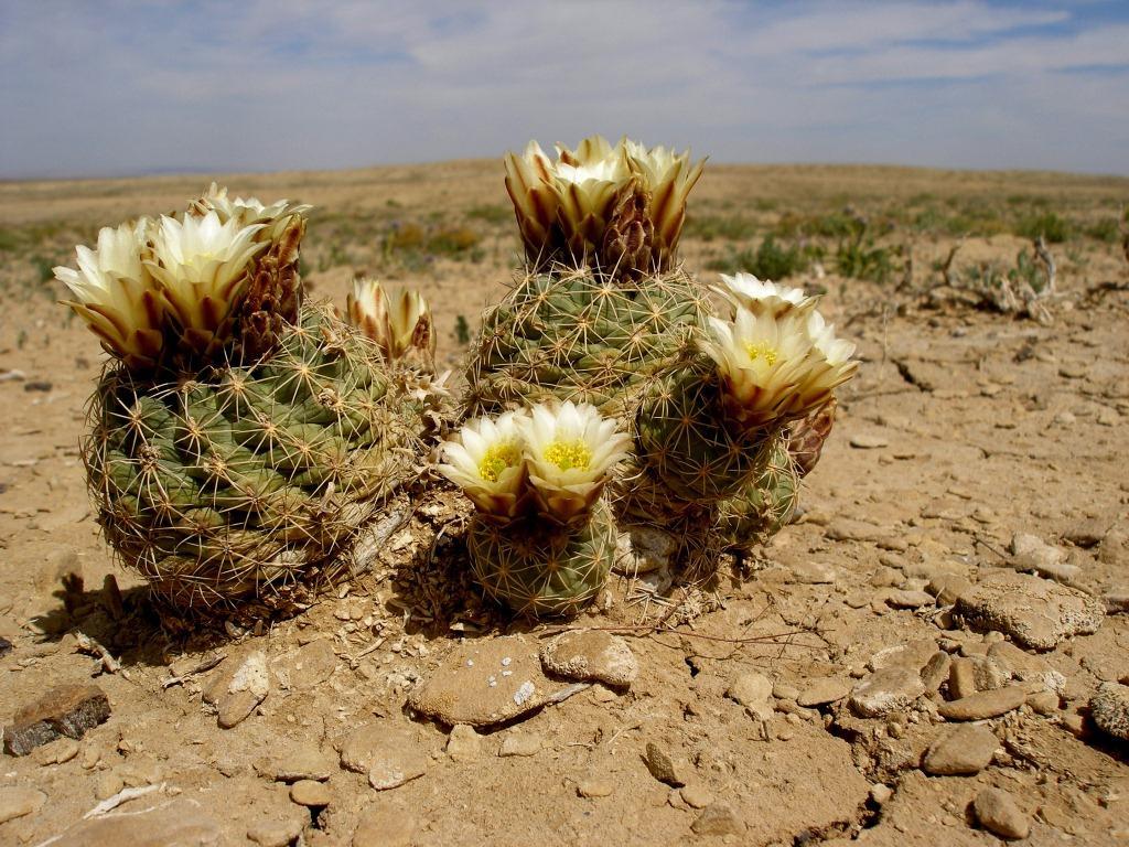 sclerocactus mesae verdae