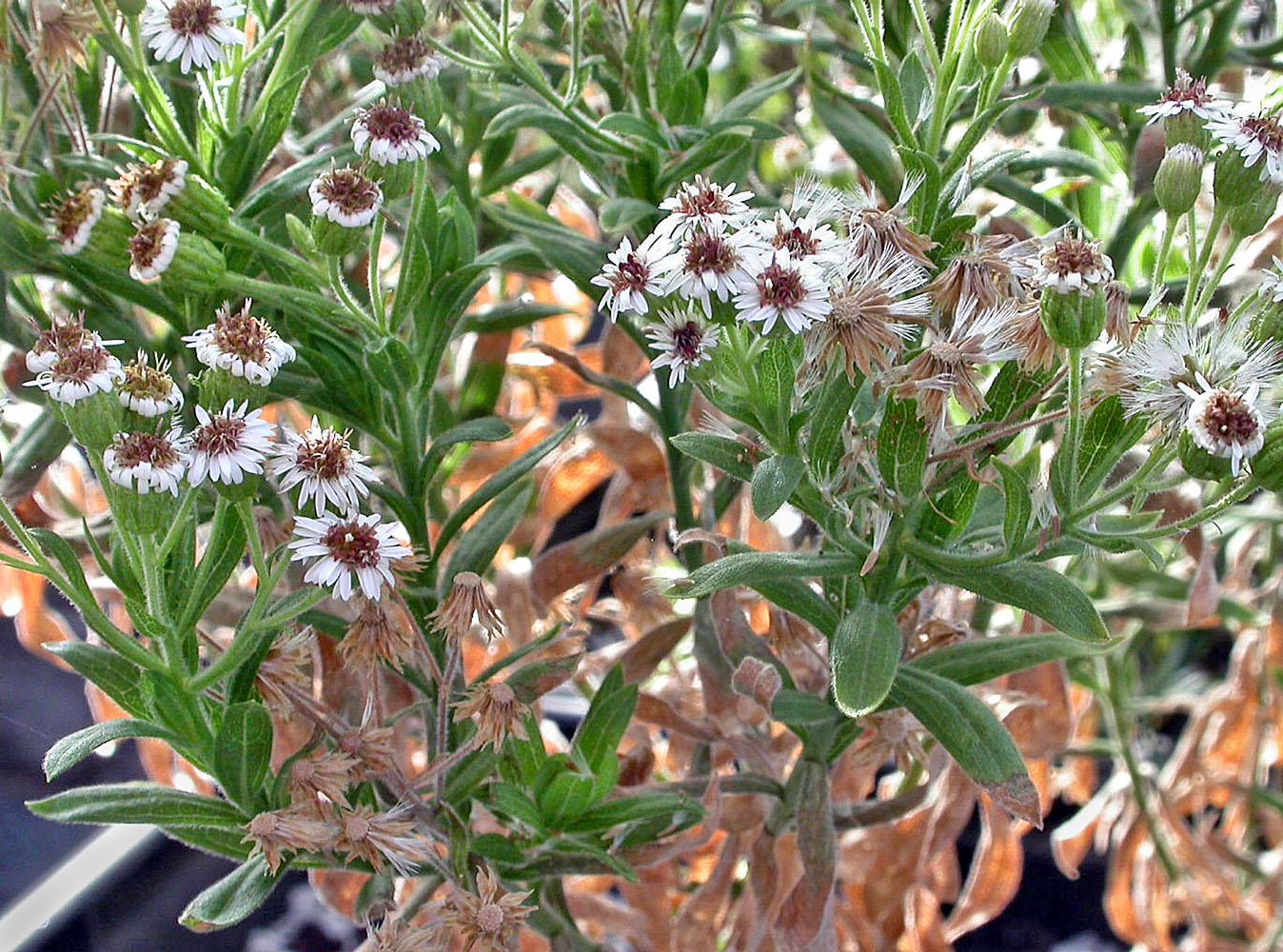 Tetramolopium arenarium