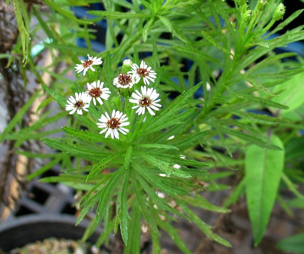 tetramolopium lepidotum ssp lepidotum