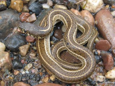thamnophis eques megalops