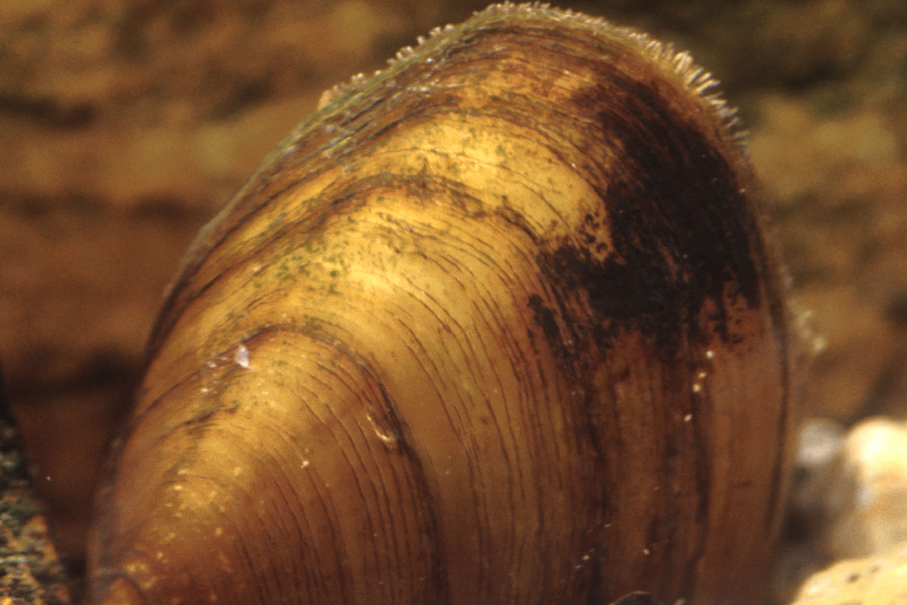 toxolasma cylindrellus