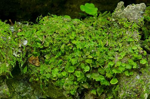 trichomanes punctatum ssp floridanum