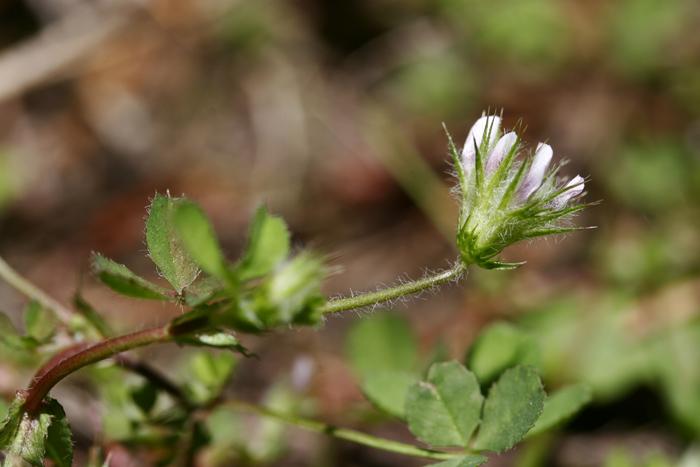 trifolium trichocalyx