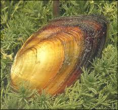 villosa choctawensis