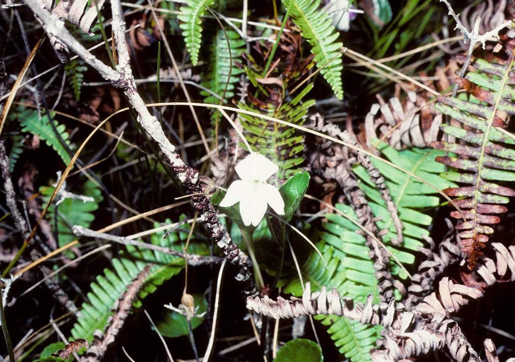 viola kauaiensis var wahiawaensis
