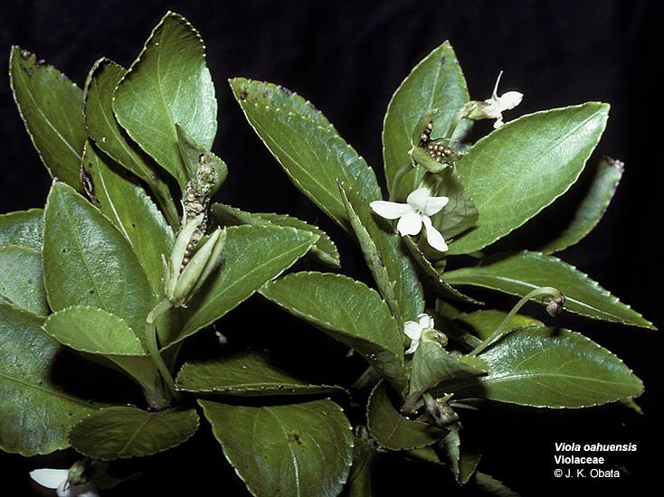 viola oahuensis