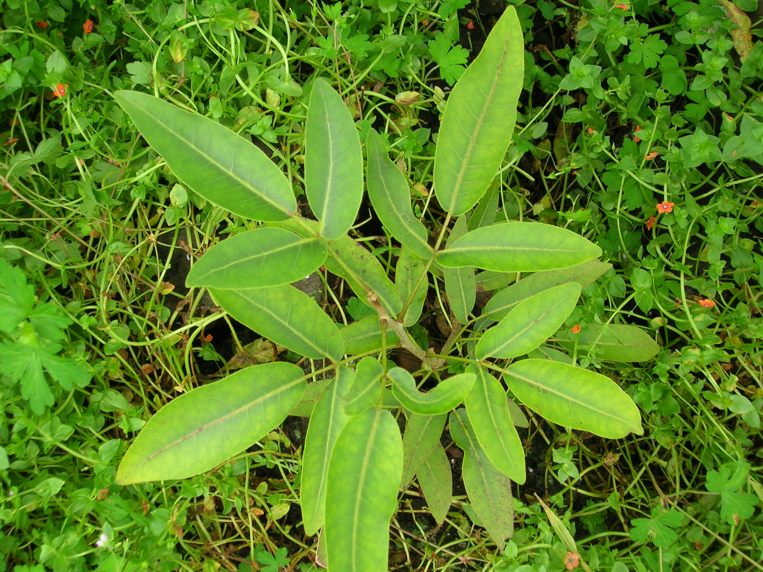 zanthoxylum hawaiiense