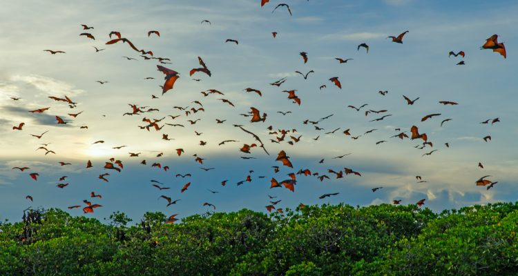 Bats avoid collision in large crowds by using their echolocation less, scientists have discovered.