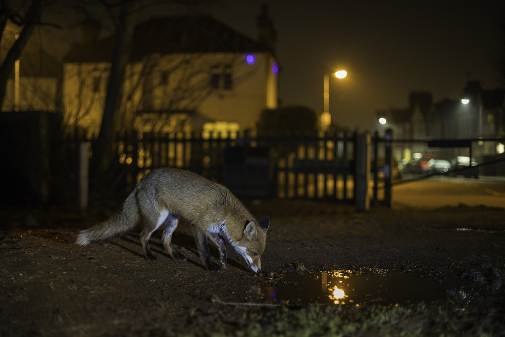 Urban foxes, coyotes, hedgehogs, and other formerly wild animals are adapting to life in human cities.