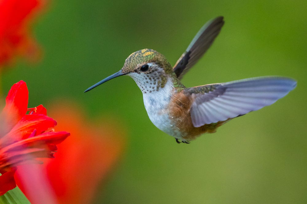 According to new research from a team of researchers at the University of British Columbia, hummingbirds process motion in a most unusual way.