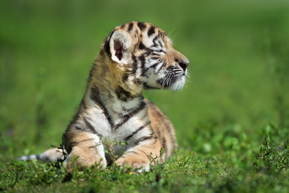 The Milwaukee County Zoo is hand-raising an Amur tiger cub after an illness.