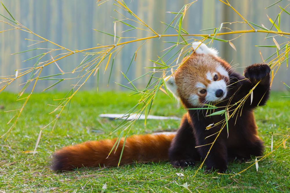 A second red panda has died at the Elmwood Park Zoo outside Philadelphia. The red panda species has been listed as endangered since 2008.