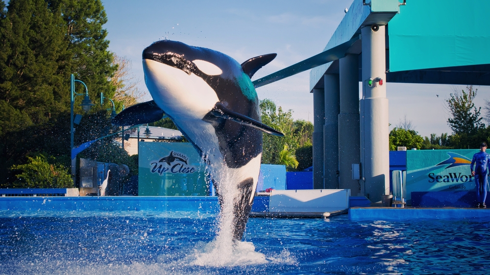 """Killer whales perform at SeaWorld in Orlando, Florida. The water park announced Friday that Tilikum, the orca star of """"Blackfish"""" who was involved in three trainer deaths, has died."""