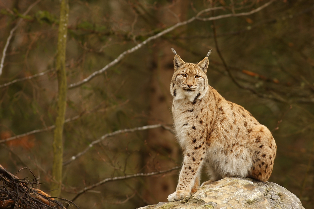 This winter, several sightings of the mysterious and rare lynx have been reported across Colorado. Lynx are an endangered species reintroduced to the state in 1999.