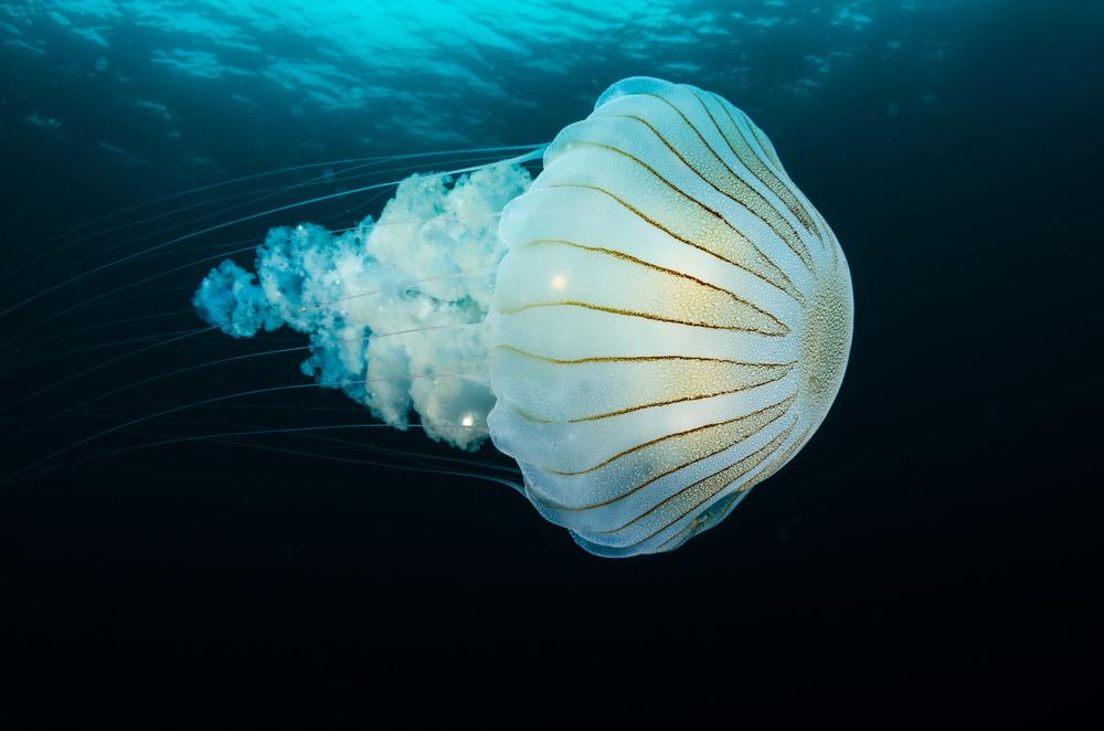 A new effort by South American scientists has cataloged more than 900 jellyfish types on the continent.