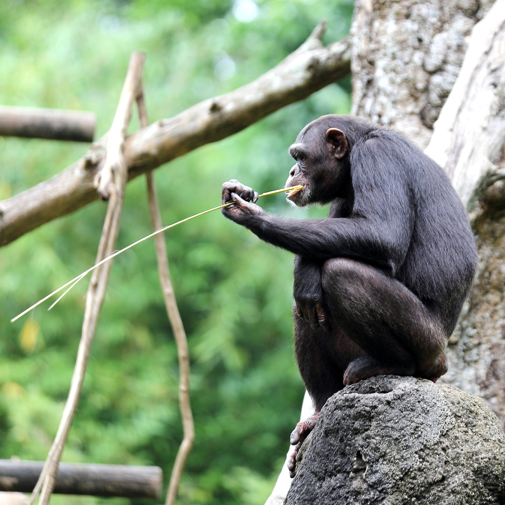Researchers discovered that a population of chimpanzees on living on the Ivory Coast have developed a fancy new drinking technique: drinking sticks.