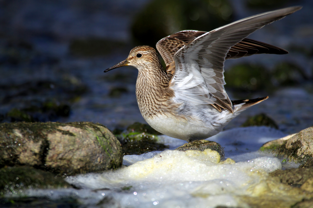 In environmental news for January 10, 2017: Male sandpipers and their desperate quest for love.