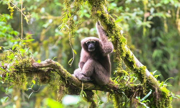 And this week, it was announced that new species of gibbon has been discovered living in the rainforests of southwestern China.