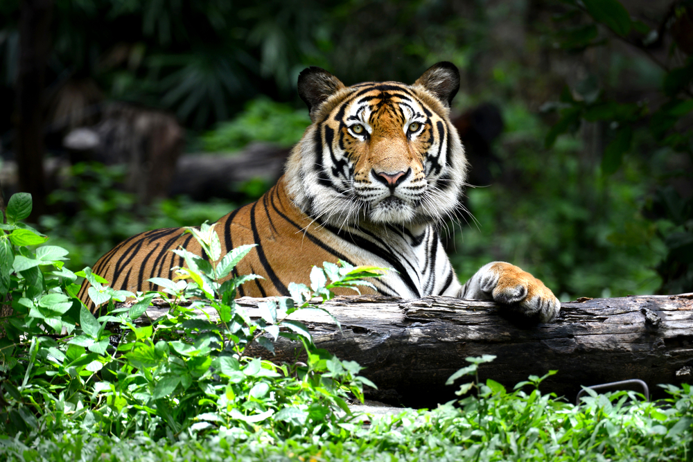 Since the early 1900s, the tiger population in Asia has dropped by 96 percent, as a result of poaching for luxury market goods.