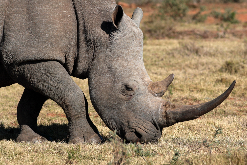 Scientists in South Africa analyzed rhino dung to find out how much of a role it plays in communication.
