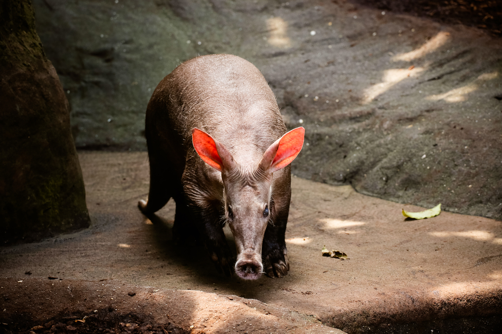 On Thursday, the Philadelphia Zoo announced that AJ, the oldest aardvark in the U.S., passed away due to age-related heart failure.