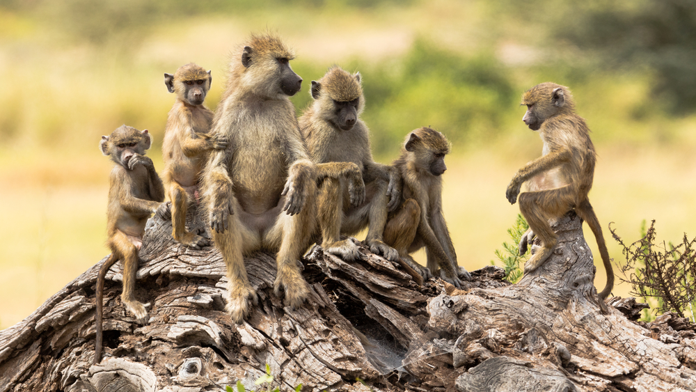 According to a new study by a collaborative team of researchers, the sounds of baboons may offer clues about the origins of ancient human speech.