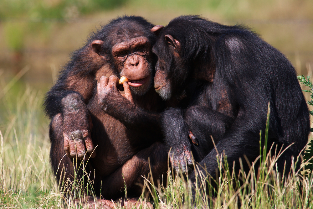 Opposites attract for chimpanzees. When it's time to start a family, chimps prefer mates as genetically different from themselves as possible.