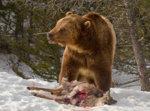 Photos taken by a British vacationer capture wolves hunting down a deer, only to have their meal stolen by a hungry grizzly bear.