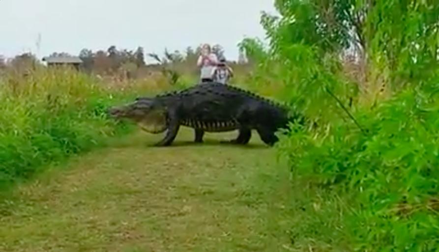 Massive alligator strolls through Florida nature center