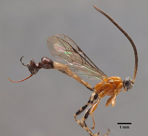 Wasps have a pretty good defense in their painful stinger, but a new species of wasp recently discovered in Peru has upped the ante, so to speak.
