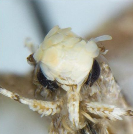 A minuscule moth with a familiar, golden coif was just named Neopalpa donaldtrumpi after United States president-elect Donald Trump.