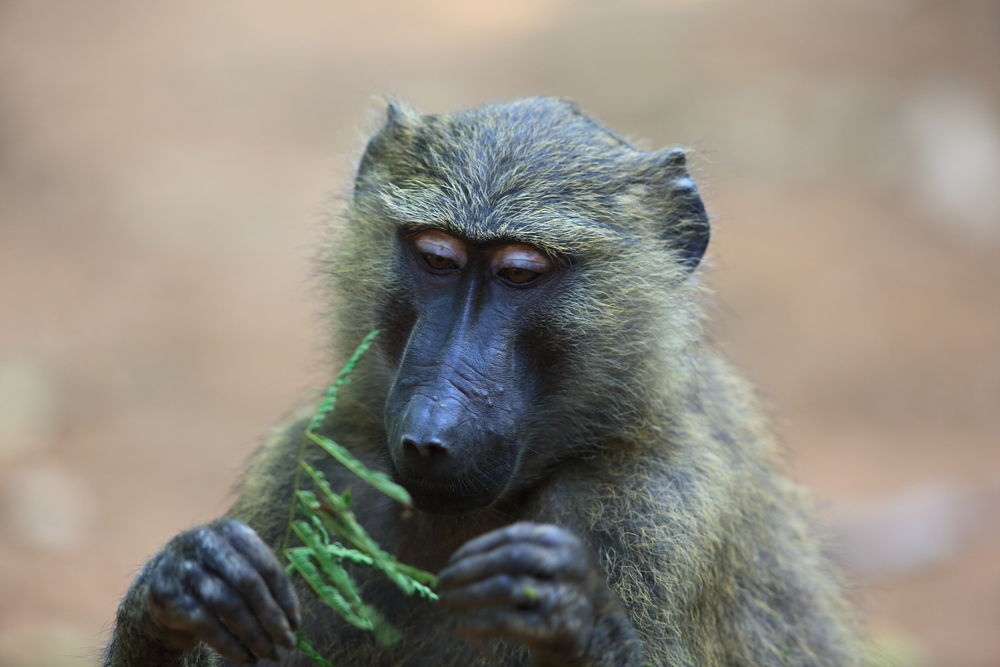 A new study has revealed that baboons and rhesus monkeys have incredible mathematical abilities comparable to those of human children.