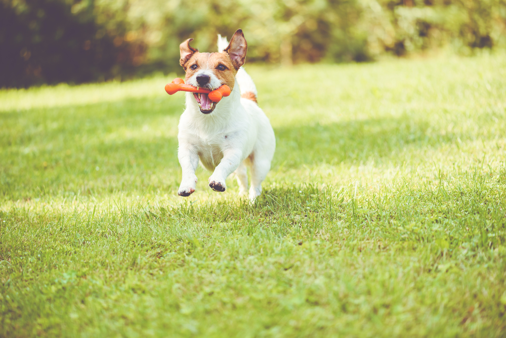 What dog owners may not realize is that this seemingly innocent game of playing fetch poses a real injury risk for their dogs.