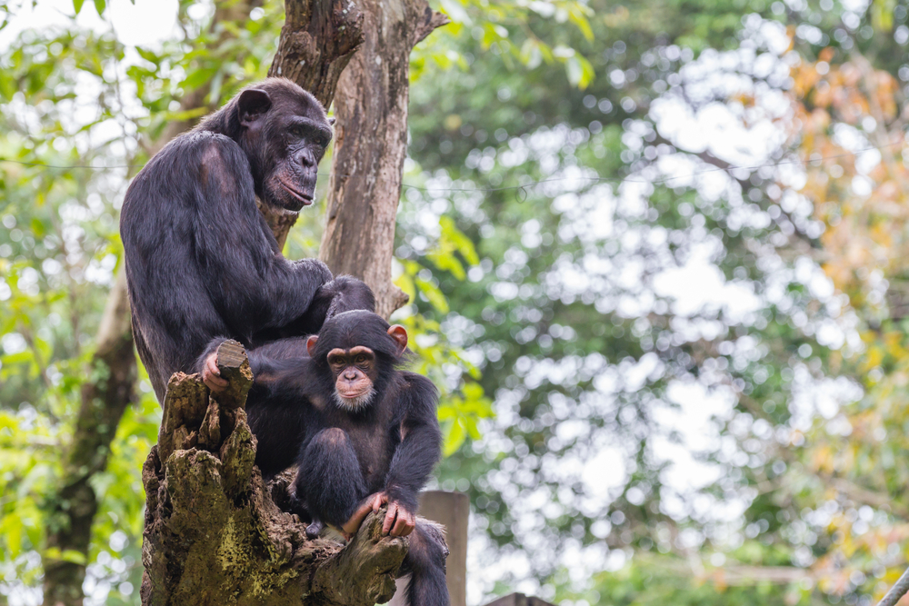 NASA images don't just provide data; they've also sparked action amongst conservationists who argue that such images could help save chimpanzees.