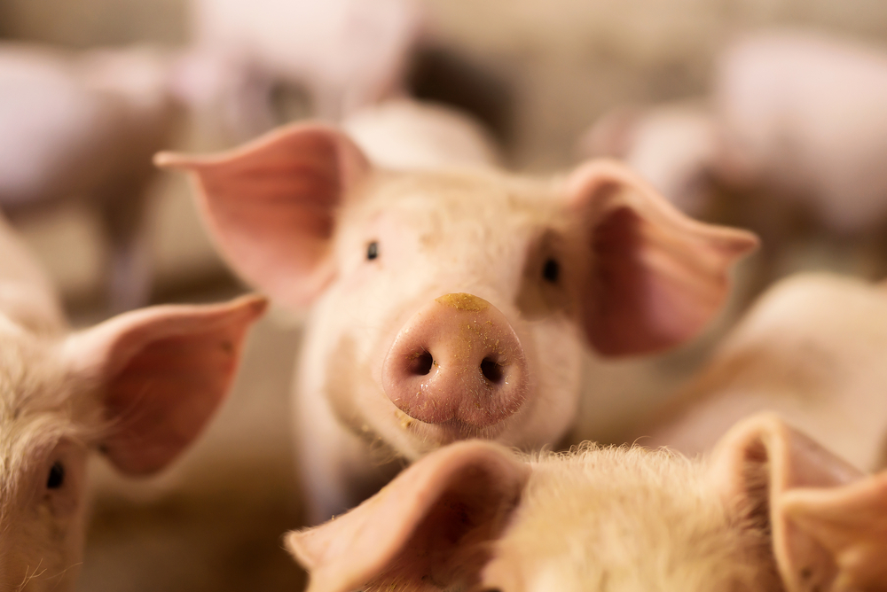 Human-pig embryos could revolutionize our medical industry. For patients hoping for an organ transplant, the wait can stretch out for years.