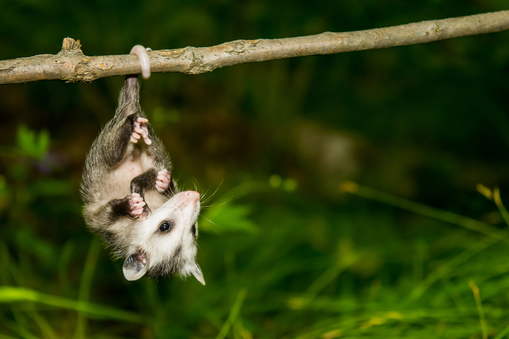 The fairy possum, the state of Victoria's official animal, is critically endangered and rapidly headed for extinction, according to a new study.