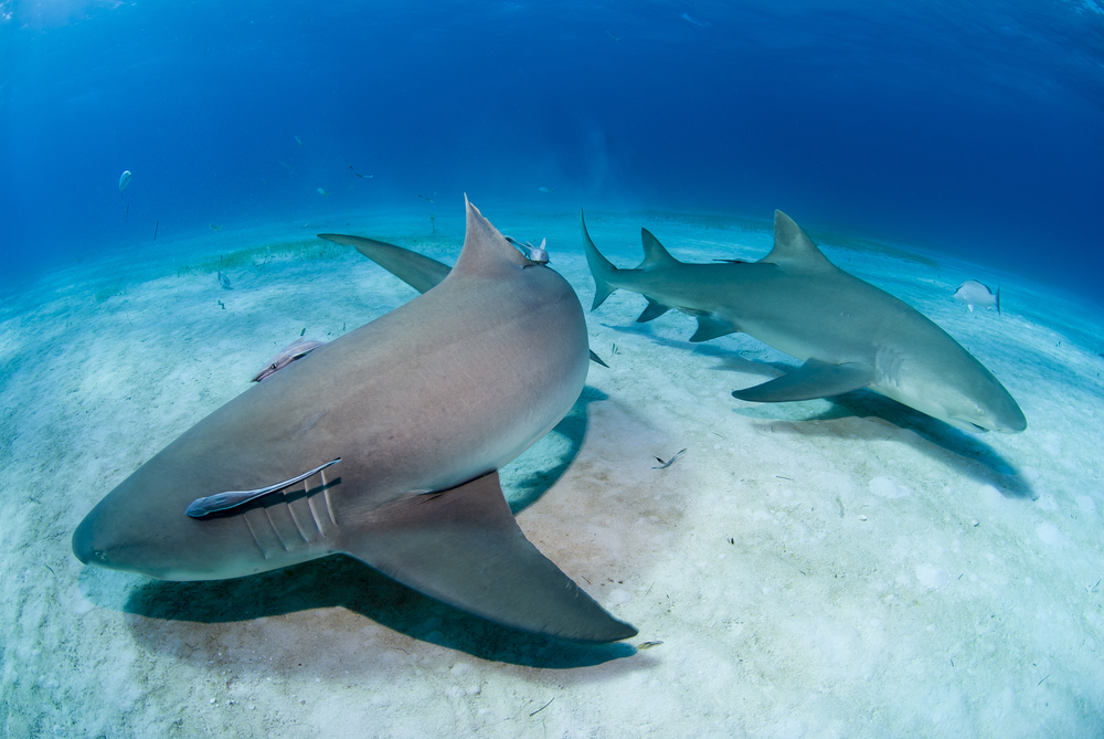 Scientists studying shark DNA may have found a clue to why the predators heal so quickly and rarely develop cancer.