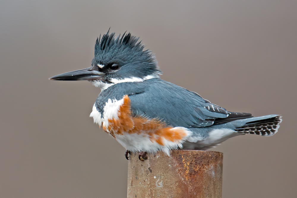 "The female belted kingfisher has a rusty red ""belt,"" while the male has a bare white chest. In species where females evolved beauty, researchers often assume those traits are meant to attract mates. But they may have served other purposes first, according to a new study."
