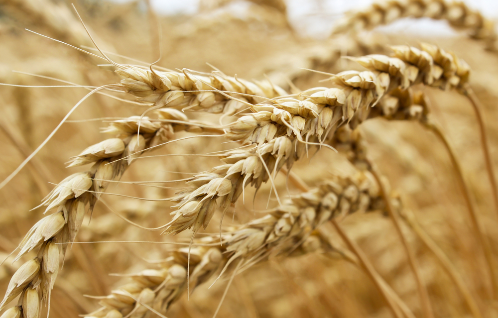 Scientists are hoping to grow a new kind of super yield GM wheat after the UK government gave its approval for the experiment to move forward.