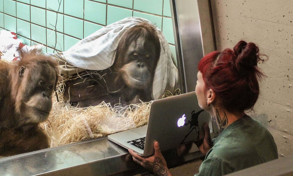 It's the latest craze in zoo social life: Tinder for Orangutans! Where a female orangutan uses computer technology to choose a mate.