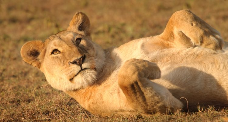 A growing lion bone market in China and Southeast Asia could be fueling poaching in Africa, experts say.